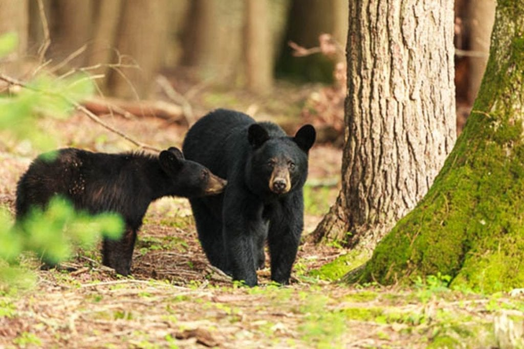 Adult and juvenile bear