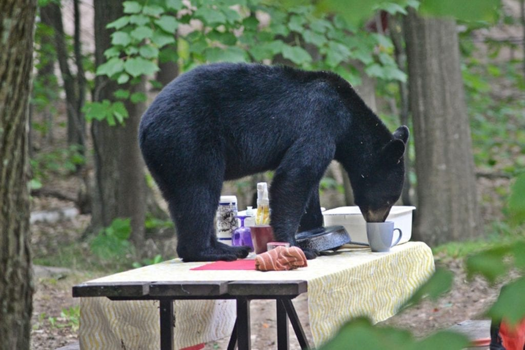 Bear on a picnic table
